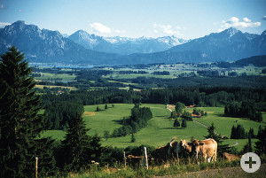 Alpenvorland mit Kühen
